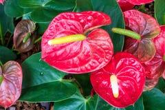 Κλείστε επάνω κόκκινο anthurium στον κήπο Στοκ Φωτογραφία