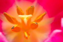 Κλείστε επάνω μέρους του λουλουδιού τουλιπών Στοκ Εικόνες