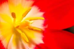 Κλείστε επάνω μέρους του λουλουδιού τουλιπών Στοκ φωτογραφίες με δικαίωμα ελεύθερης χρήσης