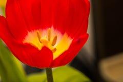 Κλείστε επάνω μέρους του λουλουδιού τουλιπών Στοκ εικόνα με δικαίωμα ελεύθερης χρήσης
