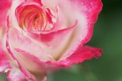 Κλείστε επάνω μακρο ρόδινο αυξήθηκε λουλούδι Στοκ εικόνα με δικαίωμα ελεύθερης χρήσης