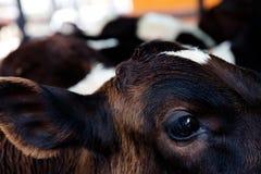 Κλείστε επάνω μιας αγελάδας Στοκ φωτογραφία με δικαίωμα ελεύθερης χρήσης