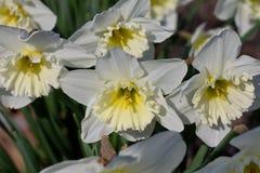 Κλείστε επάνω μιας ομάδας daffodils στην άνθιση Στοκ φωτογραφία με δικαίωμα ελεύθερης χρήσης