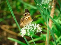 Κλείστε επάνω μιας πεταλούδας μαυρίσματος σε ένα άσπρο λουλούδι σε έναν τομέα Στοκ φωτογραφία με δικαίωμα ελεύθερης χρήσης