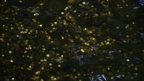 Κλείστε επάνω - νομίσματα Goldish στο σαφές κυματίζοντας νερό στο κατώτατο σημείο ενός ορόσημου καταρρακτών καλά φιλμ μικρού μήκους