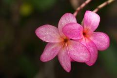 Κλείστε επάνω, ρόδινο plumeria στο δέντρο plumeria, τροπικά λουλούδια frangipani Στοκ Εικόνες