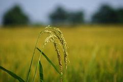 Κλείστε επάνω σε έναν τομέα ρυζιού ορυζώνα στοκ εικόνα