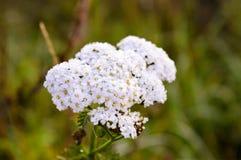 Κλείστε επάνω στη συστάδα λουλουδιών στον τομέα Στοκ φωτογραφία με δικαίωμα ελεύθερης χρήσης