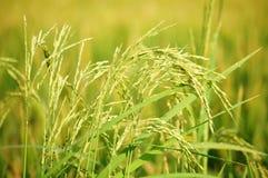 Κλείστε επάνω στο ρύζι ορυζώνα στοκ εικόνες