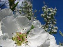 Κλείστε επάνω τα άνθη αχλαδιών ενάντια στο μπλε ουρανό κάτω από τα sunlights Στοκ Εικόνες