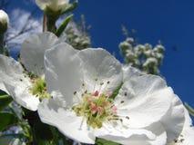 Κλείστε επάνω τα άνθη αχλαδιών ενάντια στο μπλε ουρανό κάτω από τα sunlights Στοκ Φωτογραφία
