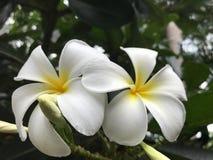Κλείστε επάνω τα άσπρα και κίτρινα λουλούδια plumeria Στοκ εικόνα με δικαίωμα ελεύθερης χρήσης