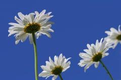 Κλείστε επάνω τα άσπρα λουλούδια μαργαριτών Στοκ φωτογραφία με δικαίωμα ελεύθερης χρήσης