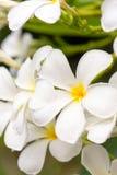 Κλείστε επάνω τα άσπρα λουλούδια Plumeria ή Frangipani με την πτώση νερού Στοκ Φωτογραφία
