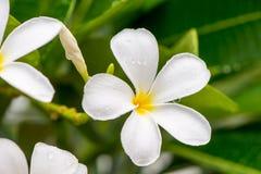 Κλείστε επάνω τα άσπρα λουλούδια Plumeria ή Frangipani με την πτώση νερού Στοκ Εικόνες