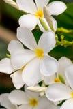 Κλείστε επάνω τα άσπρα λουλούδια Plumeria ή Frangipani με την πτώση νερού Στοκ φωτογραφία με δικαίωμα ελεύθερης χρήσης