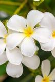 Κλείστε επάνω τα άσπρα λουλούδια Plumeria ή Frangipani με την πτώση νερού Στοκ Εικόνα