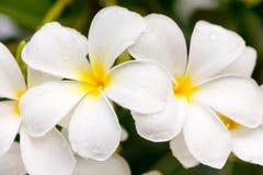 Κλείστε επάνω τα άσπρα λουλούδια Plumeria ή Frangipani με την πτώση νερού Στοκ φωτογραφίες με δικαίωμα ελεύθερης χρήσης