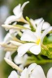Κλείστε επάνω τα άσπρα λουλούδια Plumeria ή Frangipani με την πτώση νερού Στοκ εικόνες με δικαίωμα ελεύθερης χρήσης