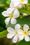 Κλείστε επάνω τα άσπρα λουλούδια Plumeria ή Frangipani με την πτώση νερού Στοκ Φωτογραφίες