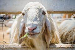 Κλείστε επάνω τα άσπρα πρόβατα Στοκ Φωτογραφίες