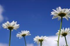 Κλείστε επάνω τα άσπρα chamomile λουλούδια μαργαριτών Στοκ φωτογραφίες με δικαίωμα ελεύθερης χρήσης