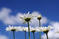 Κλείστε επάνω τα άσπρα chamomile λουλούδια μαργαριτών Στοκ Φωτογραφίες