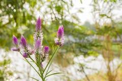 Κλείστε επάνω τα λουλούδια του χνουδωτού λίγα πορφυρά Στοκ Φωτογραφίες