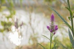 Κλείστε επάνω τα λουλούδια του χνουδωτού λίγα πορφυρά Στοκ φωτογραφίες με δικαίωμα ελεύθερης χρήσης