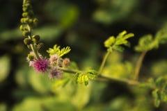 Κλείστε επάνω τα λουλούδια του χνουδωτού λίγα πορφυρά Στοκ φωτογραφία με δικαίωμα ελεύθερης χρήσης