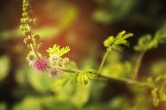 Κλείστε επάνω τα λουλούδια του χνουδωτού λίγα πορφυρά Στοκ Εικόνα