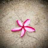 Κλείστε επάνω τα λουλούδια plumeria στο πάτωμα Στοκ Φωτογραφίες