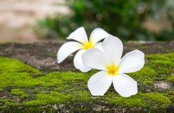 Κλείστε επάνω τα λουλούδια plumeria στο πάτωμα Στοκ φωτογραφίες με δικαίωμα ελεύθερης χρήσης