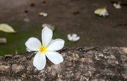 Κλείστε επάνω τα λουλούδια plumeria στο πάτωμα Στοκ Εικόνα