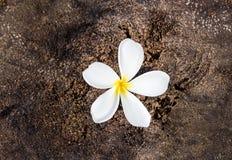 Κλείστε επάνω τα λουλούδια plumeria στο πάτωμα Στοκ φωτογραφία με δικαίωμα ελεύθερης χρήσης