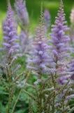 Πορφυρό λουλούδι Στοκ Φωτογραφία