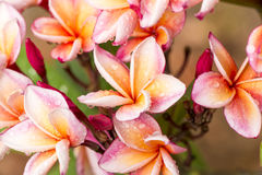 Κλείστε επάνω τα ρόδινος-κίτρινα λουλούδια Plumeria ή Frangipani με την πτώση νερού Στοκ φωτογραφία με δικαίωμα ελεύθερης χρήσης