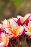 Κλείστε επάνω τα ρόδινος-κίτρινα λουλούδια Plumeria ή Frangipani με την πτώση νερού Στοκ Εικόνες