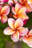 Κλείστε επάνω τα ρόδινος-κίτρινα λουλούδια Plumeria ή Frangipani με την πτώση νερού Στοκ Φωτογραφία