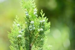 Κλείστε επάνω τα φύλλα με τους καρπούς του δέντρου κυπαρισσιών Στοκ Φωτογραφία