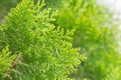 Κλείστε επάνω τα φύλλα του δέντρου πεύκων ή ασιατικού Arborvitae με το διάστημα Στοκ εικόνα με δικαίωμα ελεύθερης χρήσης