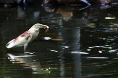 Κλείστε επάνω την άποψη ενός πουλιού με τα ψάρια Στοκ φωτογραφία με δικαίωμα ελεύθερης χρήσης