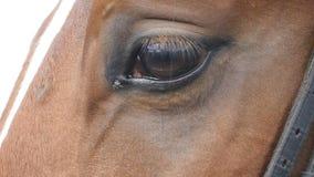 Κλείστε επάνω την άποψη του ματιού ενός όμορφου καφετιού αλόγου Ίππειο να αναβοσβήσει ματιών κίνηση αργή φιλμ μικρού μήκους