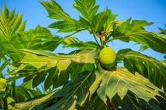 Κλείστε επάνω την άποψη του νέου πράσινου fru αρτόκαρπων (Artocarpus altilis) Στοκ φωτογραφίες με δικαίωμα ελεύθερης χρήσης