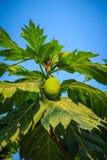 Κλείστε επάνω την άποψη του νέου πράσινου fru αρτόκαρπων (Artocarpus altilis) Στοκ εικόνα με δικαίωμα ελεύθερης χρήσης