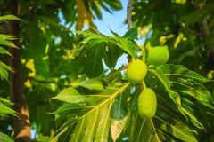 Κλείστε επάνω την άποψη του νέου πράσινου fru αρτόκαρπων (Artocarpus altilis) Στοκ Φωτογραφίες