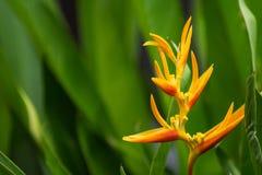 Κλείστε επάνω την άποψη του λουλουδιού πουλιών του παραδείσου Στοκ Φωτογραφία