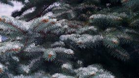 Κλείστε επάνω την άποψη του χιονιού που αφορά τους κλάδους του δέντρου πεύκων φιλμ μικρού μήκους