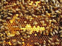 Κλείστε επάνω την άποψη των μελισσών εργασίας Στοκ Εικόνα