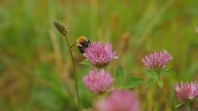 Κλείστε επάνω την άποψη bumble-bee στο λουλούδι κόκκινου τριφυλλιού απόθεμα βίντεο